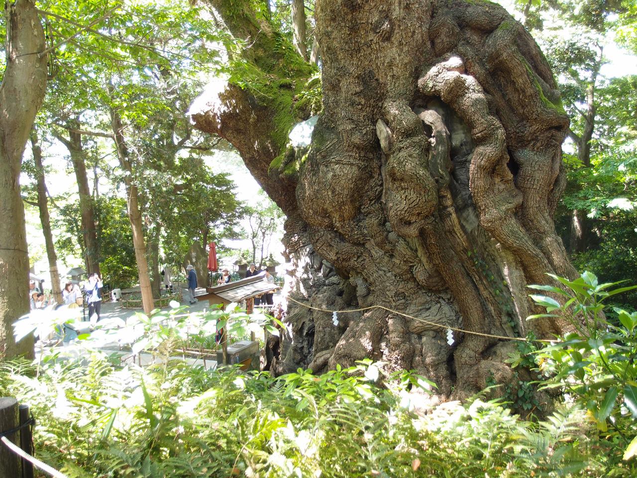 来宮神社の大きな木