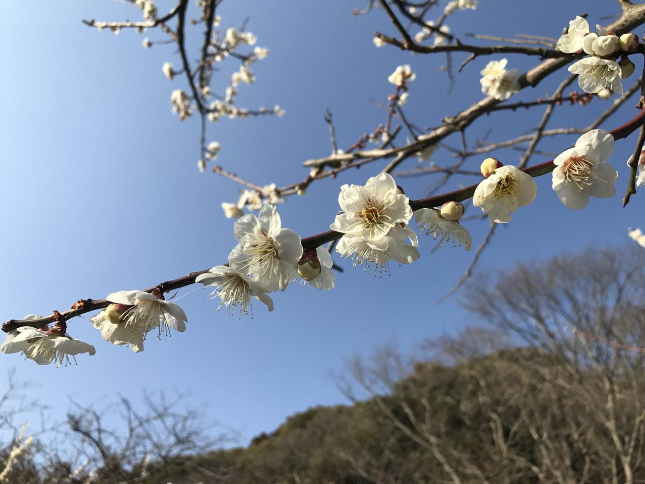 つぼみ膨らむ時期、春の一歩手前。