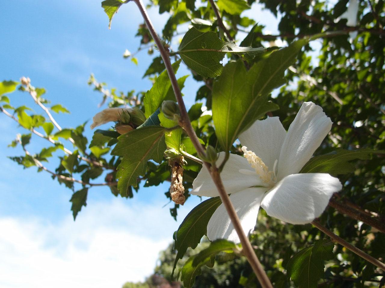夏空と白い花